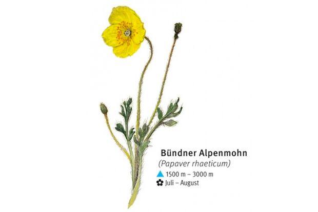 KL-seltene-Pflanzen-Alpen-DAV-Info-Buendner-Alpenmohn (jpg)