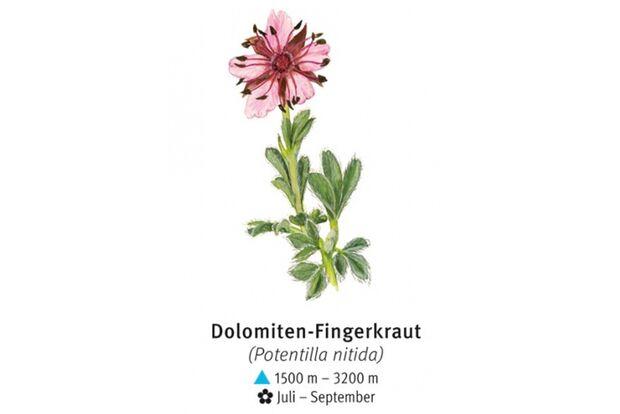 KL-seltene-Pflanzen-Alpen-DAV-Info-Dolomiten-Fingerkraut (jpg)