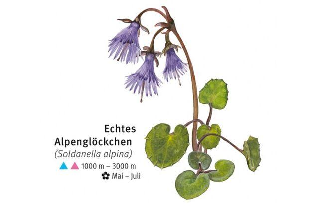 KL-seltene-Pflanzen-Alpen-DAV-Info-Echtes-Alpengloeckchen (jpg)