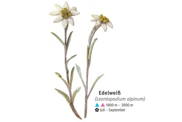 KL-seltene-Pflanzen-Alpen-DAV-Info-Edelweiss (jpg)