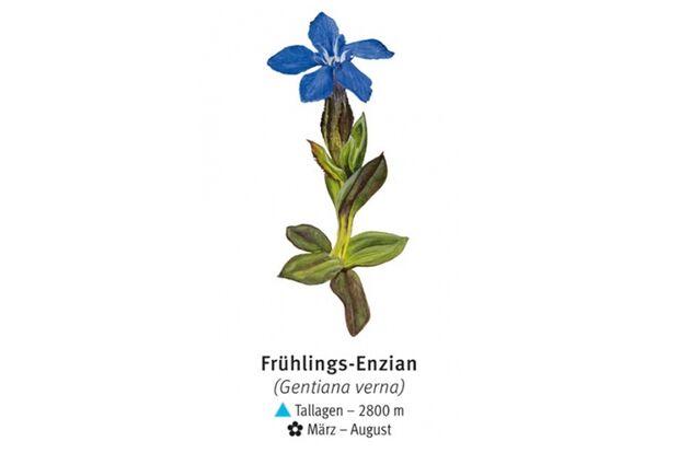KL-seltene-Pflanzen-Alpen-DAV-Info-Fruehlings-Enzian (jpg)