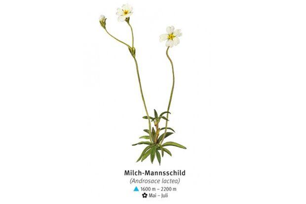 KL-seltene-Pflanzen-Alpen-DAV-Info-Milch-Mannsschild (jpg)