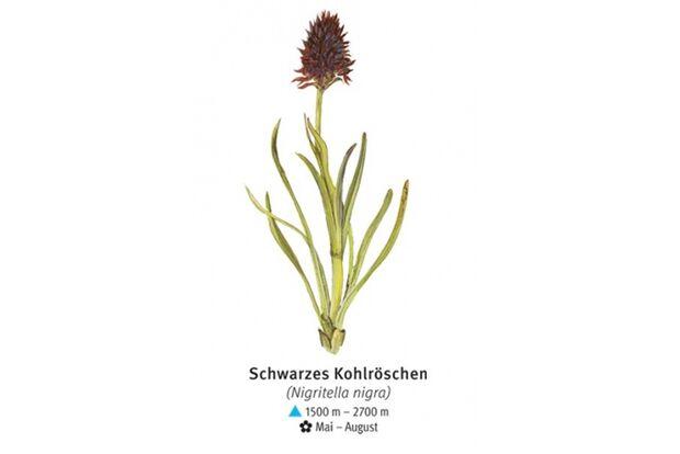 KL-seltene-Pflanzen-Alpen-DAV-Info-Schwarzes-Kohlroeschen (jpg)